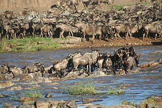 Serengeti - Wildebeests crossing the river during the Serengeti migration