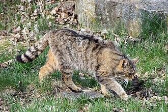 Felis - Wildcat, Felis silvestris