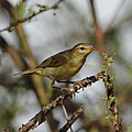 Willow warbler, Phylloscopus trochilus, at Marakele National Park, Limpopo, South Africa (45938436114).jpg