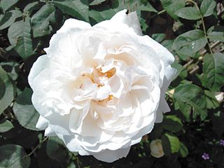 Winchester Cathedral (rose).jpg