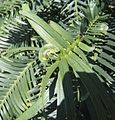 Wollemia nobilis leaf detail 1.jpg
