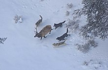 Aerial photograph a bull elk in winter being pursued by four wolves