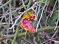 Woolly Caper Bush (Capparis tomentosa) edible (!) fruit (12818945564).jpg