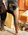 Working Elephant, Jaipur (6947079268).jpg