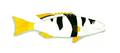 XRF-Plectropomus melanoleucus.png