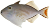 A white fish with dark spots, Xanthichthys ringens.
