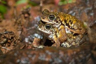 Xanthophryne tigerina - Amboli tiger toads mating