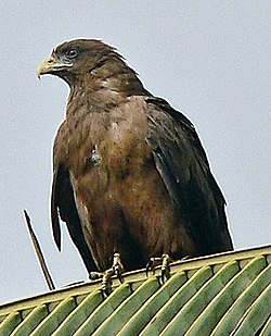 Yellow-billed kite cropped.jpg