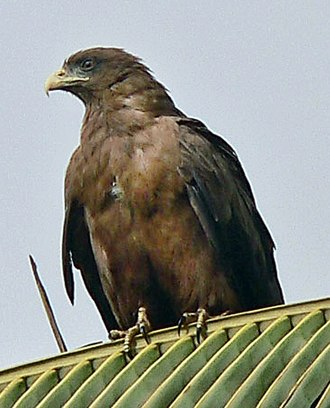 Yellow-billed kite - Image: Yellow billed kite cropped