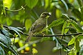 Yellow-whiskered Greenbul - Kenya S4E7530 (17026005516).jpg