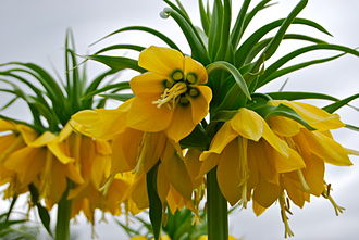 Fritillaria imperialis - Image: Yellow Crown Imperials