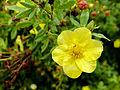 Yellow flower (14770242065).jpg