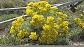 Yellow rabbitbrush.jpg