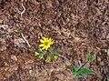 Yellowed dry.jpg