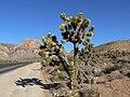Yucca brevifolia 15.jpg