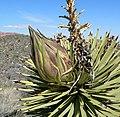 Yucca brevifolia bud.jpg