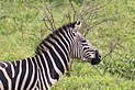 Zebra in Hluhluwe–Imfolozi Park 04.jpg