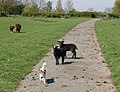 Zwartbles lambs, near Broadwell - geograph.org.uk - 1264575.jpg