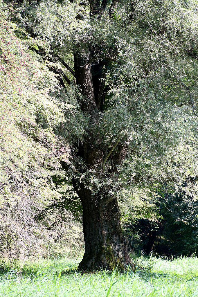Otro espectacular ejemplar de sauce blanco (Salix alba).
