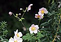 'Chinese anemone' at Clavering Essex England28.jpg