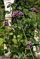 'Verbena bonariensis' Capel Manor College Gardens Enfield London England.jpg