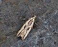 (0737) Monochroa palustrella (7602030180).jpg