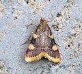 (1413) Hypsopygia costalis - Flickr - Bennyboymothman (1).jpg