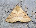 (1921) Scalloped Oak (Crocallis elinguaria) - Flickr - Bennyboymothman (1).jpg