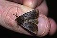 (2259) Dark Chestnut (Conistra ligula) (4045247797).jpg