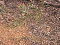 ? Daviesia mimosoides (5097673477).jpg