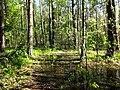 Ługi helenowskie wielki ług las 1.jpg