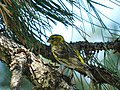 Žutarica (Serinus serinus) European Serin.jpg