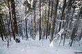 Буково-ялиновий ліс.jpg