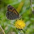 Буроглазка Мегера (Краеглазка мегера) - Wall Brown - Lasiommata megera - Mauerfuchs (15174227018).jpg