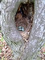 Гніздо співочого дрозда.jpg