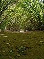 Кусты кизила и дорожка между ними в Кисловодском парке.jpg