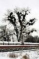 Непонятные шары на деревьях зимой - panoramio.jpg