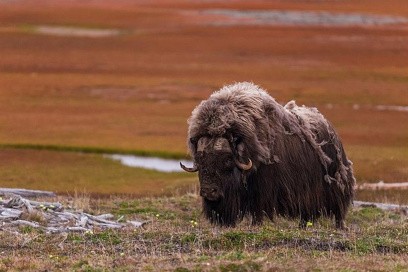 File:Овцебыки - самые грозные млекопитающие Таймыра.jpg
