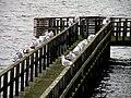 Чайки на берегу пр.Эресунн.jpg