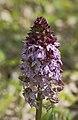 Ятрышник пурпурный - lady orchid - orchis purpurea - Пурпурен салеп - Purpur-Knabenkraut (13985692935).jpg
