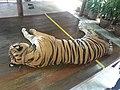 נמר מסומם ומותש בגן החיות בתאילנד, להנאת המבקרים שיכולים ללטפו להצטלם איתו לגעת בו.jpg