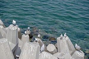 رفتار مرغان دریایی نوروزی یا یاعو در کشور عمان، شهر مسقط، ساحل دریای عمان - عکس مصطفی معراجی 10.jpg