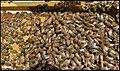 زنبور داری در مراغه - panoramio.jpg