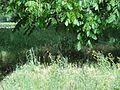 شغال زیر درخت گردو - panoramio (1).jpg