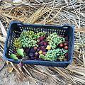 نگاره میوه محلی لاشار.jpg