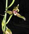 報歲水仙梅 Cymbidium sinense 'Narcissus-shaped Prune' -香港沙田國蘭展 Shatin Orchid Show, Hong Kong- (12235518014).jpg