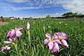 小岩菖蒲園 - panoramio (1).jpg