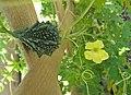 山苦瓜 Momordica charantia v abbreviata -香港嘉道理農場 Kadoorie Farm, Hong Kong- (9213306953).jpg