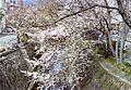 岩屋桜 - panoramio.jpg