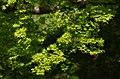 新緑のもみじ 吉野山にて 2014.4.15 - panoramio.jpg